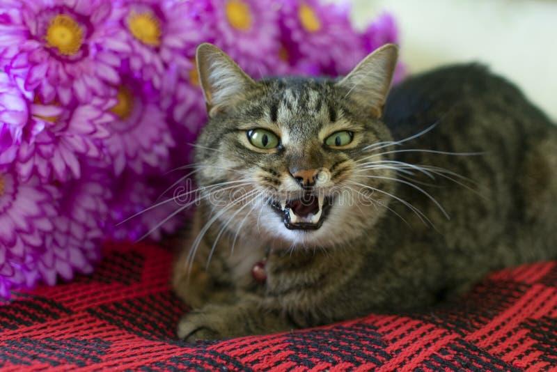Il gatto si trova su una coperta rossa con i fiori, aprenti la sua bocca ed esponenti i suoi denti fotografia stock