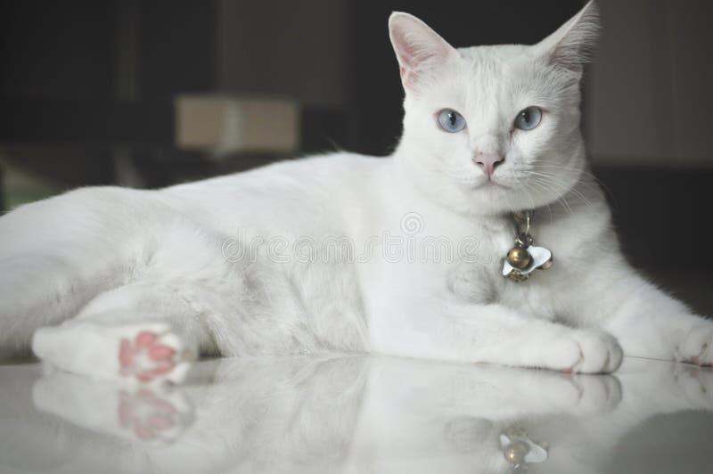 Il gatto siamese è il gatto domestico tailandese, l'animale domestico molto sveglio ed astuto in casa, bello gatto bianco e occhi immagine stock