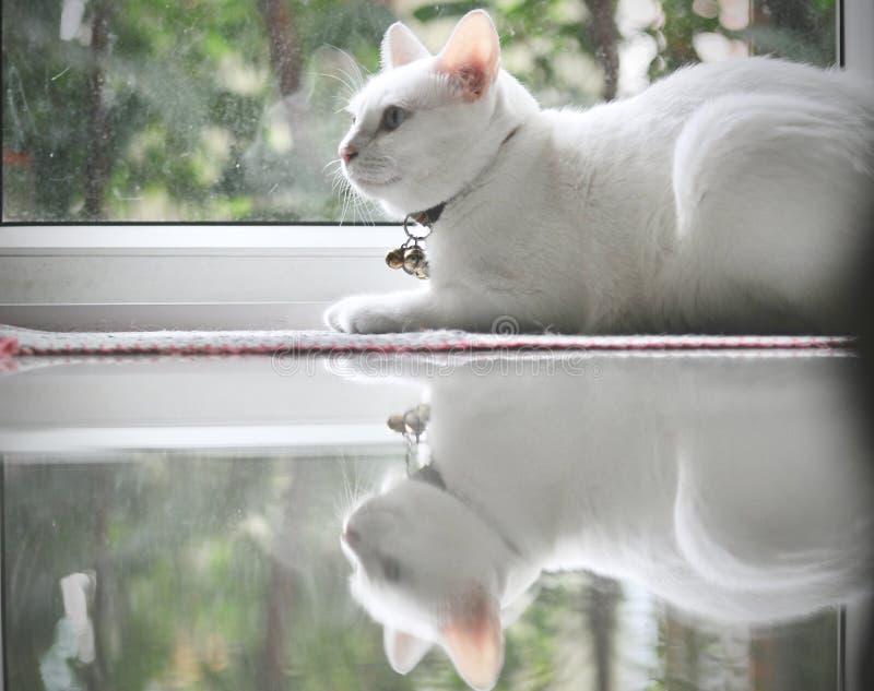 Il gatto siamese è il gatto domestico tailandese, l'animale domestico molto sveglio ed astuto in casa, bello gatto bianco e occhi immagini stock