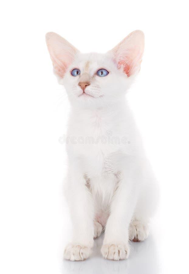 Il gatto siamese di balinese si siede su un fondo bianco fotografia stock libera da diritti