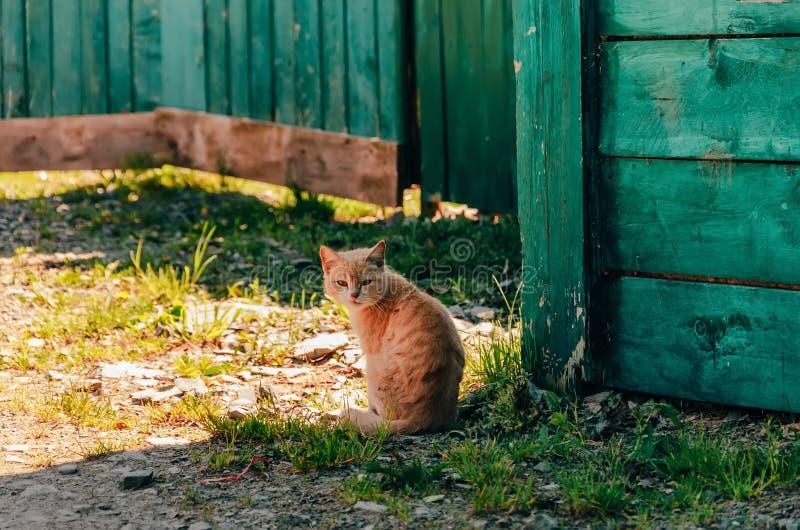 Il gatto solo dello zenzero sta aspettando il suo proprietario sull'erba di estate nella tonalità della casa fotografie stock