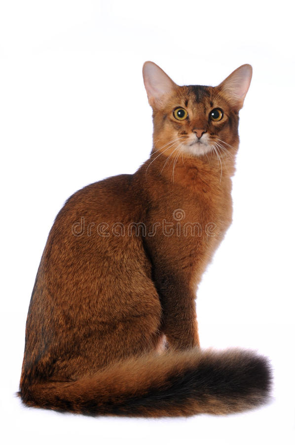 Il gatto somalo si siede isolato su bianco immagini stock