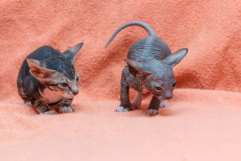 Il gatto Sphynx di Donskoy fotografie stock