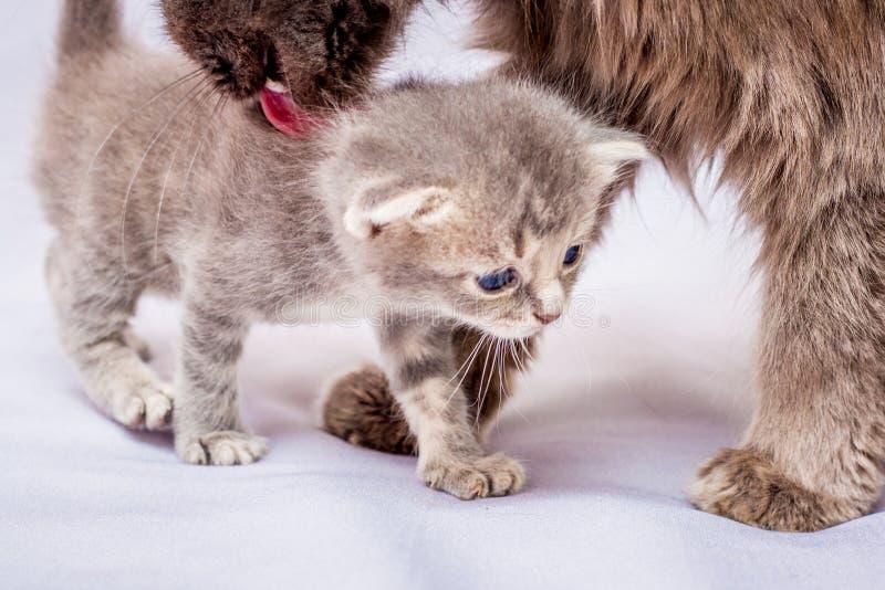 Il gatto sta lavando un piccolo gattino grigio Preoccupandosi per la pulizia fotografia stock libera da diritti