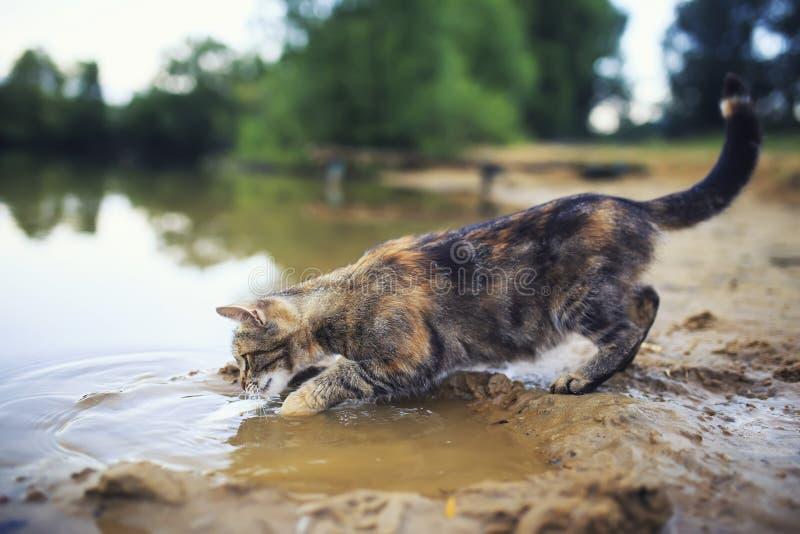 Il gatto a strisce sveglio deftly pesca il pesce con la zampa nello stagno nel villaggio di estate immagine stock