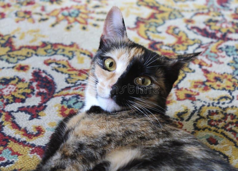 Il gatto su un tappeto colorato fotografia stock libera da diritti