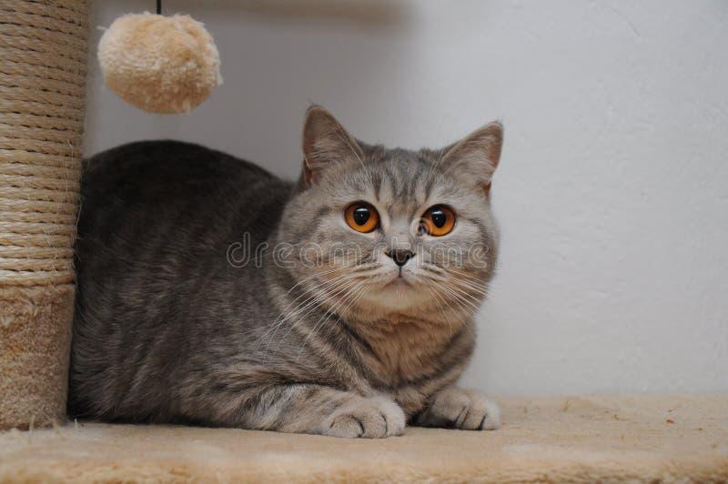 Il gatto sveglio dello shorthair britannico con marrone osserva su scratcher fotografia stock libera da diritti