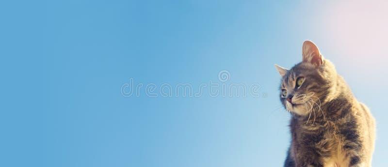 Il gatto sveglio grigio contro un cielo blu guarda nella parte di sinistra Gattino che cerca le nuove avventure, opportunità Trov immagini stock libere da diritti