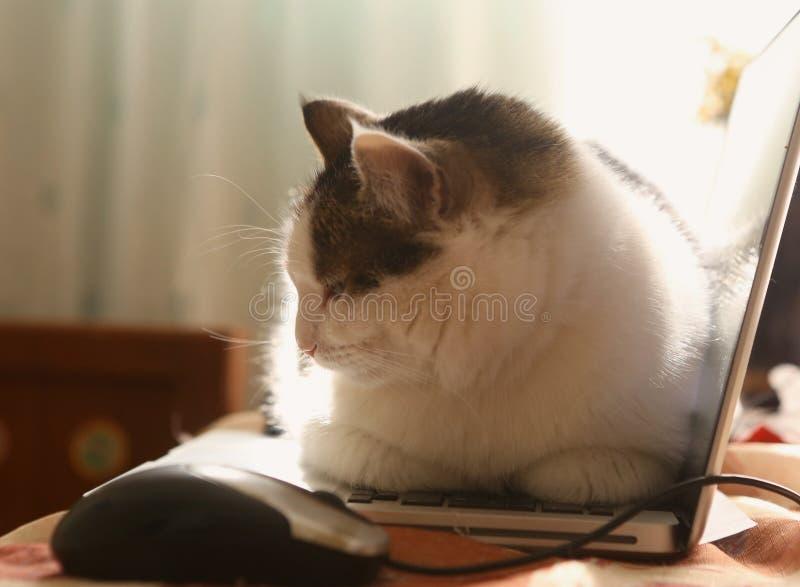 Il gatto sveglio pone il riposo sulla tastiera del computer portatile sulla tavola fotografia stock