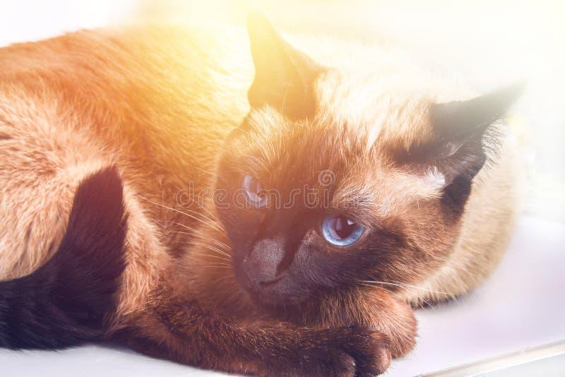 Il gatto tailandese siamese si trova e guarda con tristezza, l'angoscia, rabbia immagini stock