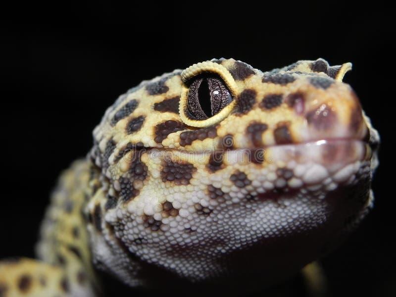Il geco del leopardo con i punti neri e gialli si chiude su della testa e dell'occhio fotografia stock