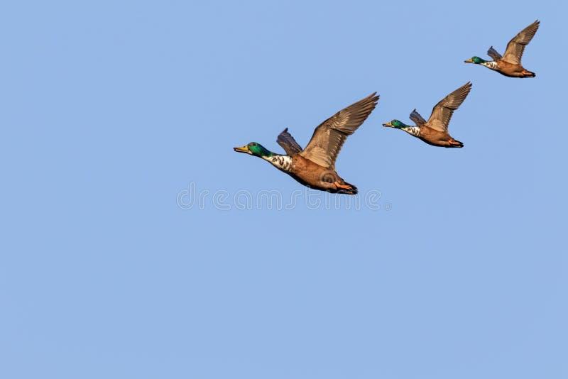 Il germano reale Ducks durante il volo immagini stock libere da diritti