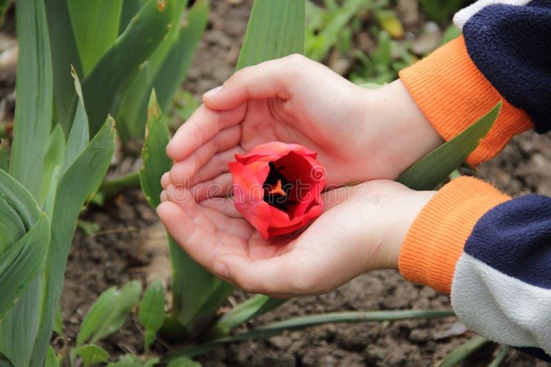Il germoglio aperto del tulipano rosso in mani del ` s dei bambini fotografia stock libera da diritti