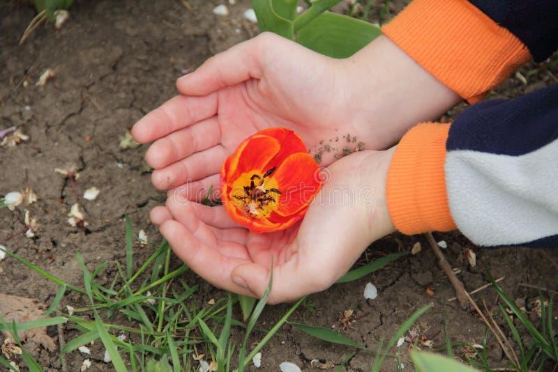 Il germoglio aperto del tulipano rosso in mani del ` s dei bambini fotografia stock