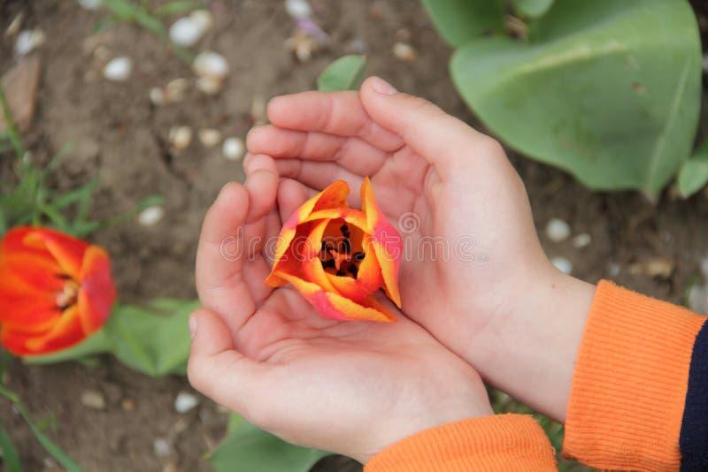 Il germoglio aperto del tulipano rosso in mani del ` s dei bambini immagini stock