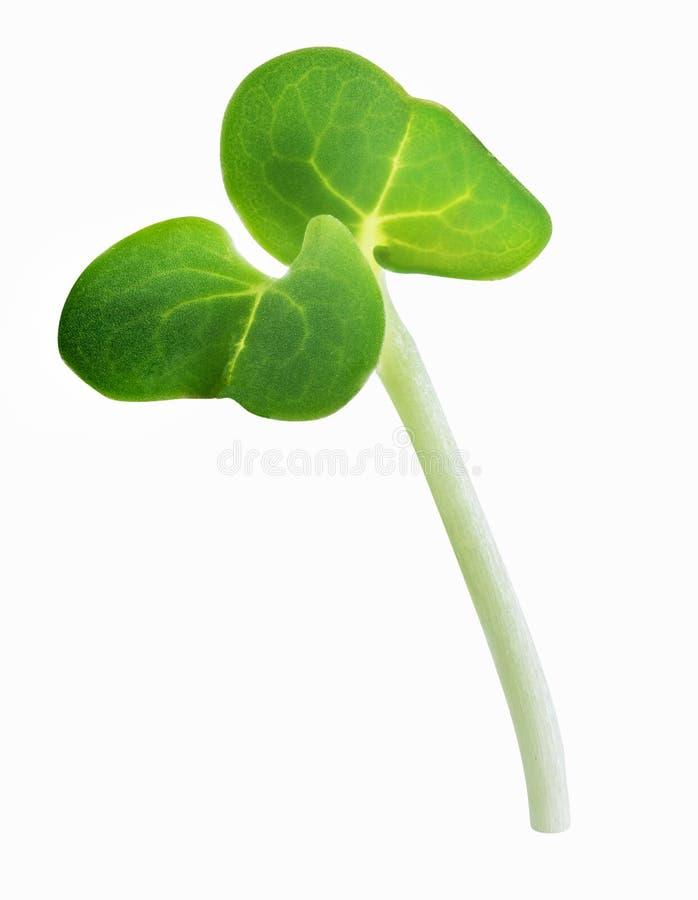 Il germoglio dei giovani microgreen isolato con ombra Percorso di ritaglio fotografie stock
