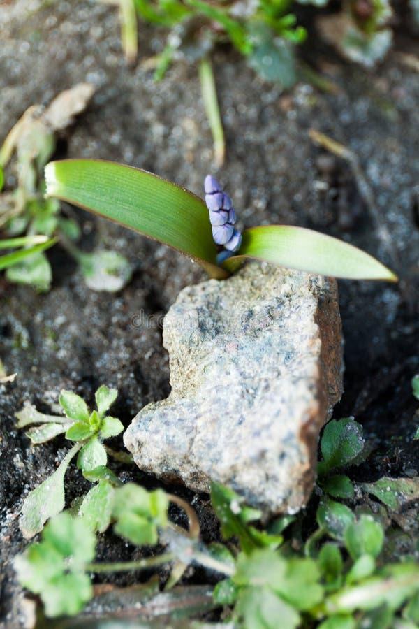 Il germoglio del fiore si è sviluppato da sotto la pietra fotografia stock