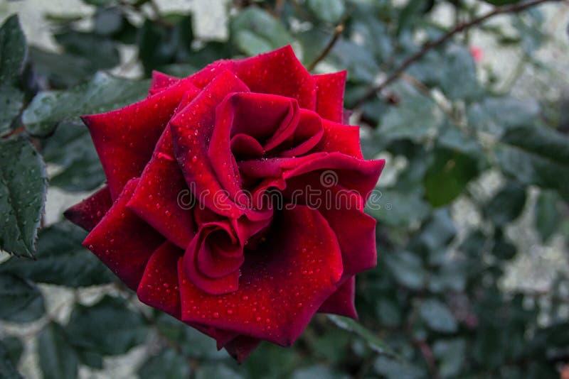 Il germoglio di fiore è aumentato immagini stock libere da diritti