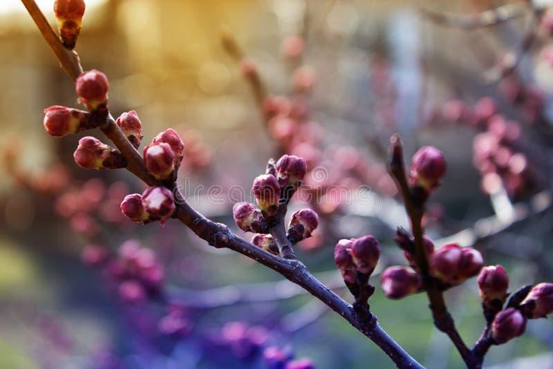Il germoglio di fiore dell'albicocca su un ramo di albero, ramo con l'albero germoglia fotografia stock