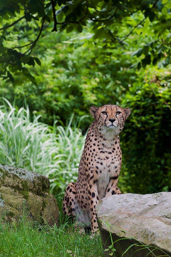 Il ghepardo che si siede accanto a Brown oscilla vicino agli alberi verdi durante il giorno fotografie stock libere da diritti