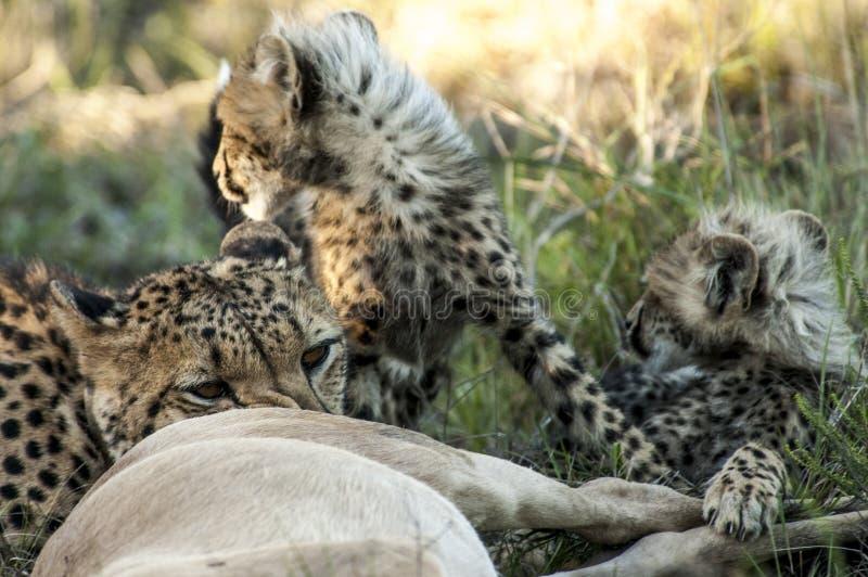 Il ghepardo della madre ha fatto un'uccisione per i suoi cuccioli fotografia stock libera da diritti