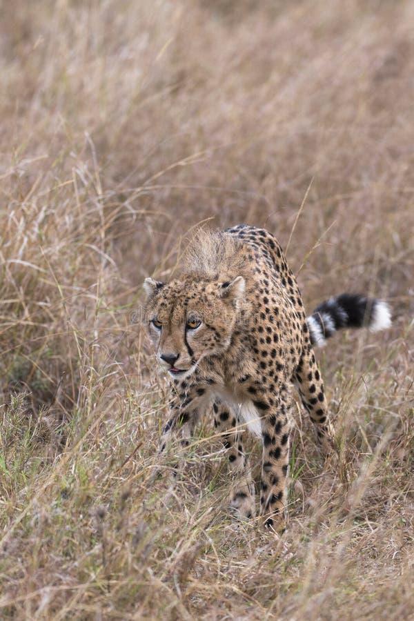 Il ghepardo di caccia vaga in cerca di preda attraverso il primo piano lungo dell'erba immagine stock libera da diritti