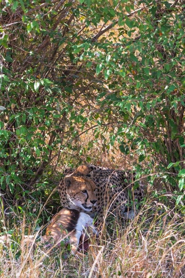 Il ghepardo divora l'impala Eastest Africa immagine stock libera da diritti