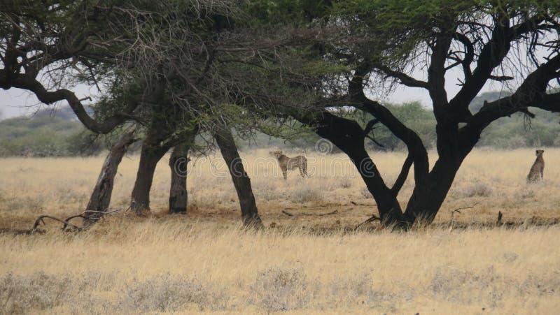Il ghepardo due ha catturato in pascolo - la riserva di caccia centrale di Kalahari, Botswana fotografie stock libere da diritti