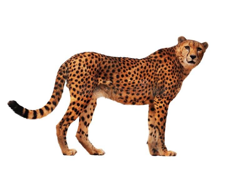 Il ghepardo ha macchiato isolato a bianco immagine stock