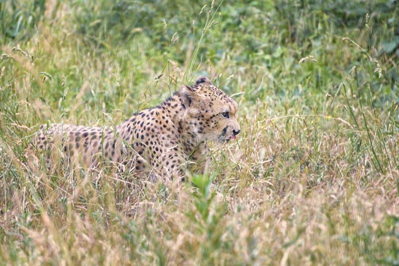Il ghepardo, jubatus di acinonyx è l'animale di terra più veloce immagini stock