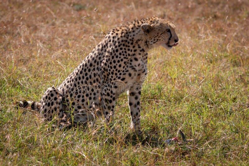 Il ghepardo si siede leccando le sue labbra sopra l'uccisione fotografie stock libere da diritti