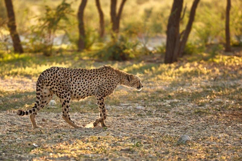 Il ghepardo sta cercando fotografia stock libera da diritti