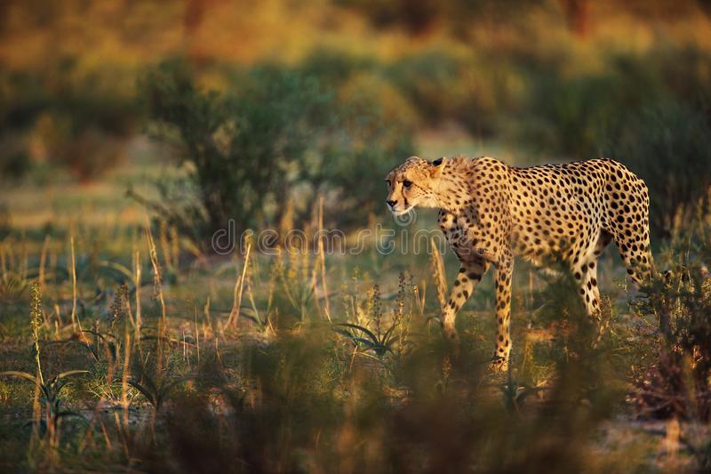 Il ghepardo sta cercando immagini stock