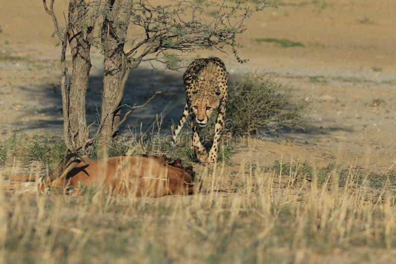 Il ghepardo sta cercando nella savana fotografia stock libera da diritti