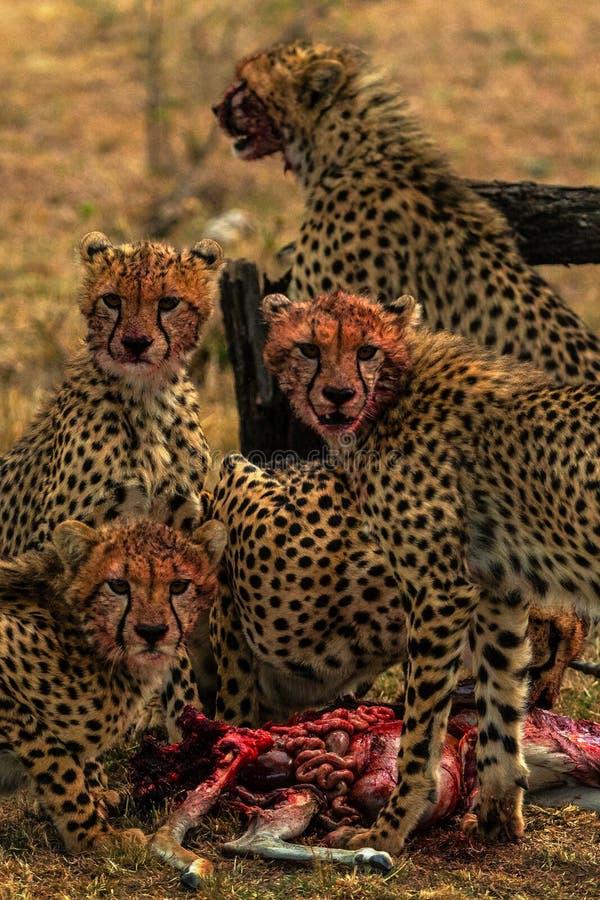 Il ghepardo sta cercando nella savana immagine stock libera da diritti