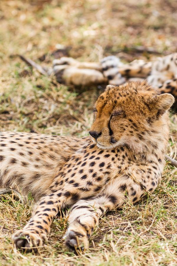 Il ghepardo sta dormendo nella savana Masai Mara, Kenia fotografia stock