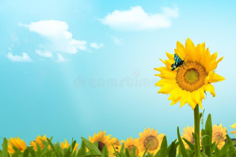 Il giacimento del girasole con la farfalla e le nuvole copiano lo spazio fotografia stock