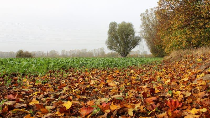 Il giacimento dell'insalata verde nel giorno nebbioso con l'autunno va immagine stock libera da diritti