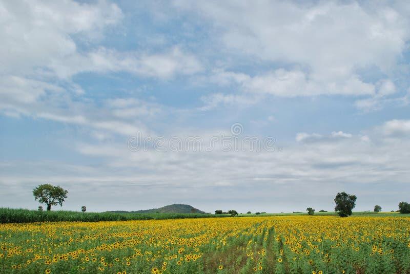 Il giacimento di fiore del sole fotografie stock