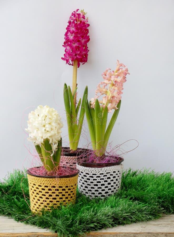 Il giacinto del fiore della primavera in vaso da fiori su fondo di legno, fiore è bianco e rosa Copi lo spazio immagini stock libere da diritti