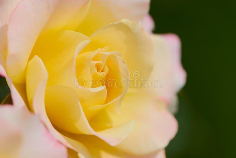 Il giallo è aumentato vicino su, il nome della rosa è rosa di speranza fotografia stock