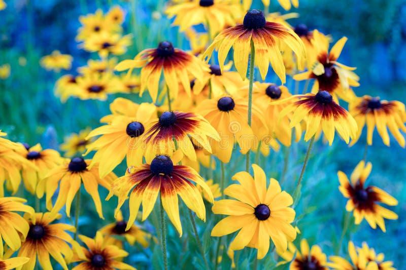 Il giallo arancio di Rudbeckia nero-ha osservato l'aiola f del giardino del coneflower immagini stock libere da diritti