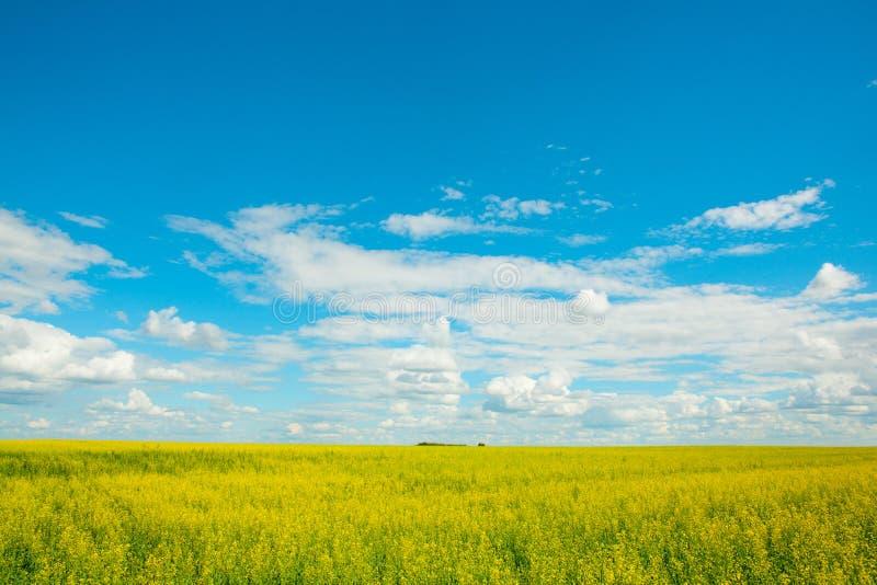 Il giallo colza i fiori sul campo e sul cielo blu con le nuvole fotografia stock libera da diritti