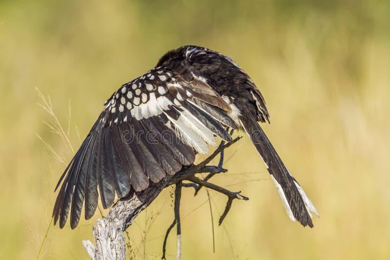 Il giallo del sud ha fatturato il bucero nel parco nazionale di Kruger, il sud A immagini stock libere da diritti
