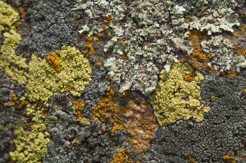 Il giallo dell'erba del prato fiorisce il Helichrysum immagine stock