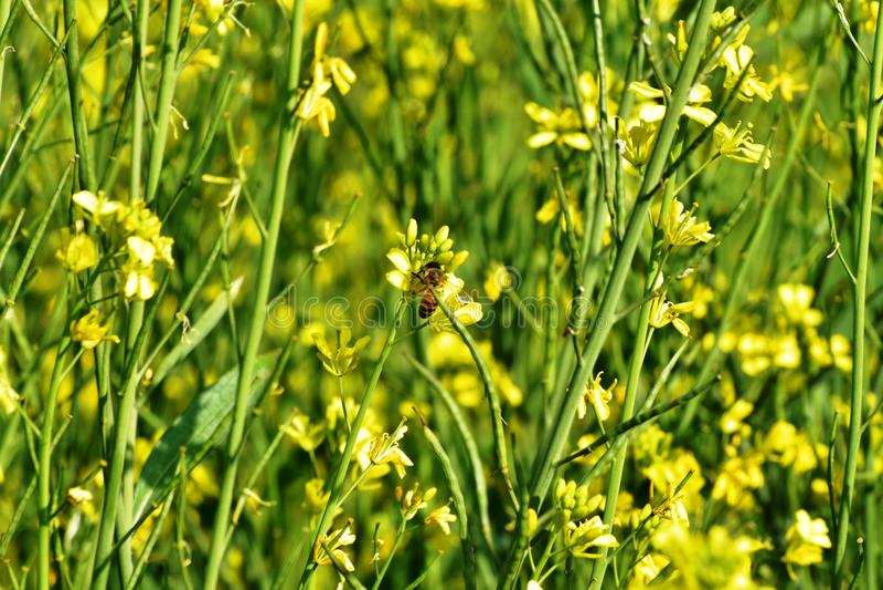Il giallo della natura dell'ape mellifica della foglia del campo del raccolto della senape fiorisce il giorno luminoso della camp immagine stock libera da diritti