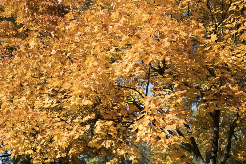 Il giallo di autunno lascia il fondo nel giorno soleggiato immagini stock