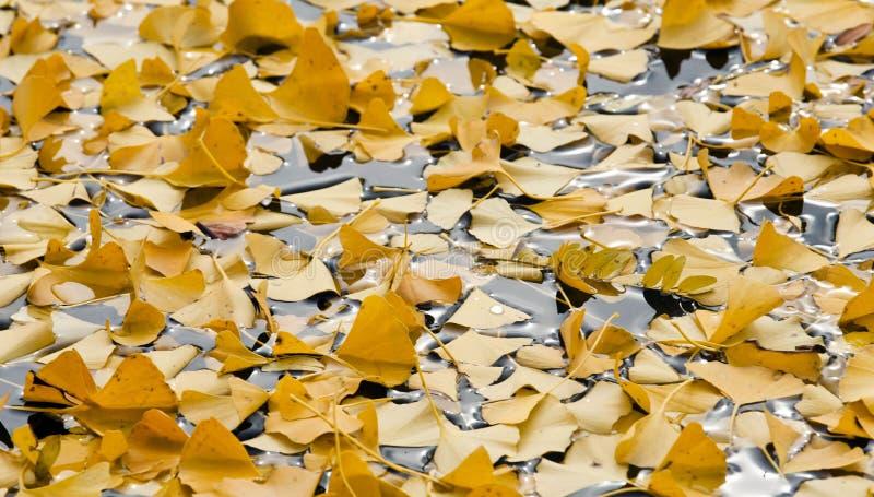 Il giallo di autunno lascia in uno stagno dell'acqua fotografia stock