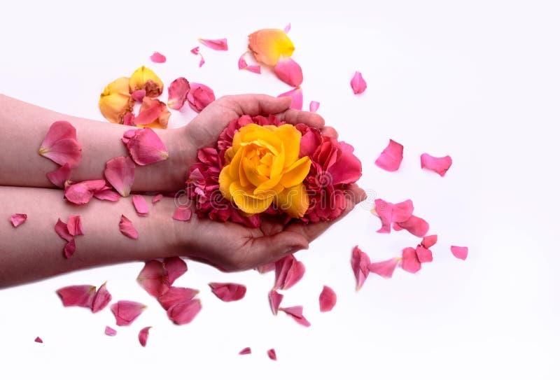 Il giallo e la rosa rossa germoglia nelle mani di una ragazza petali di rosa La SK immagini stock