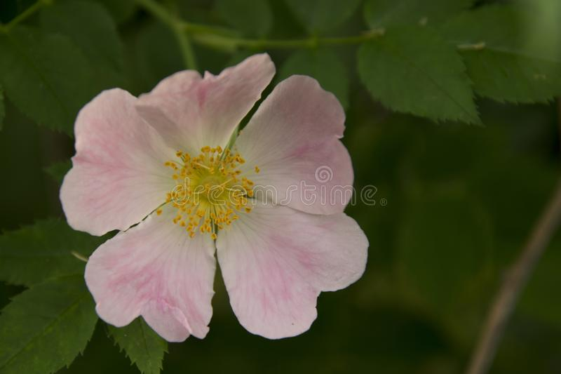 Download Il giallo e rosa immagine stock. Immagine di fiore, enorme - 117975311